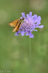 Skipper on wildflower (ellie.taylor30) Tags: butterfly hampshire summer sigma105 sigma nikonnaturephotography nikon nature flickrnature macrodreams macro flower wildflower