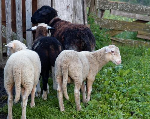 Alp Sheep