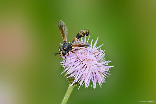 Thick-headed Fly (Physocephala rufipes)