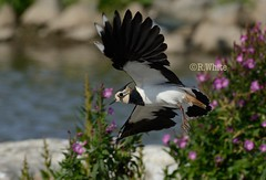Lapwing in flight (ftm599) Tags: bif nikon washingtonwetlands wildlife nature wild wildlifephotography lake wings flying action waders wader birds bird lapwing