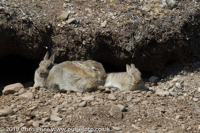 Rabbits at Calf Sound
