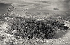 sea oats in the storm (Fidere) Tags: pensacola florida sinar 4x5 150mm large format beach film hp5 illford