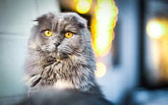 Luna (Edgar Myller) Tags: luna cat pet profile portrait animal stare scottish fold bokeh home mirror lights sitting