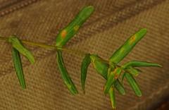 Perforate St John's Wort - Hypericum perforatum.   (4) (Ben Grader) Tags: flower bloom blossom weed wild plant sepil petal stamen leaf stem pistil raceme culpeper sony slta77 tamron perforatestjohnsworthypericumperforatumperforatestjohnswort hypericumperforatum