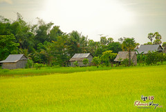 Rice Fields - Along The Way