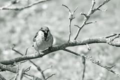 150428, House Sparrow (nathalieisaksson89) Tags: blackandwhite blur bird closeup canon sparrow housesparrow fgel svartvitt sparv canoneos400d grsparv