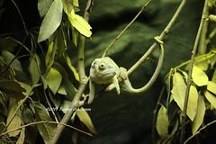 50 shades of green (tommyajohansson) Tags: london geotagged zoo chameleon tiergarten londonzoo faved djurpark kameleont zsl zoologicalsocietyoflondon tommyajohansson regentspark 50shadesofgreen leopardchameleon