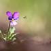 Styvmorsviol - Viola tricolor