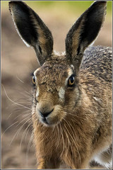 A close encounter. (Smudge 9000) Tags: brown nature kent spring hare wildlife reserve national 2015 nnr brownhare elmley