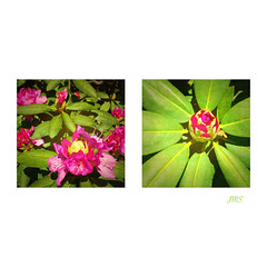 And now the rhododendron blossoms. (jeanne.marie.) Tags: pink flowers green texture spring diptych colorful blossoms rhododendrons iphoneography iphone5s image60100 100xthe2016edition 100x2016