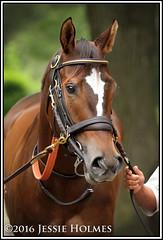 Blast (Spruceton Spook) Tags: horses horseracing blast belmontpark starsandstripesfestival victoryridestakes