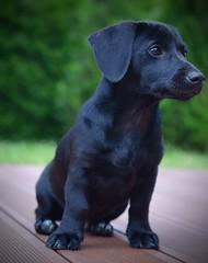 Hund - Welpen (D.STEGEMANN) Tags: hund haustier dog welpen mischling tier pet