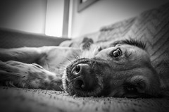 Dharma (Chapa Ortiz) Tags: pets blancoynegro animal nikon planet perros animales mascotas sueo cdmx
