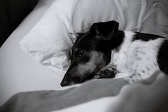 I stole your bed (Ingerlen) Tags: dog jackrussellterrier jackrussell terrier blackandwhite