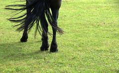 Waaier (Walraven) Tags: paard horse fries frisian black zwart