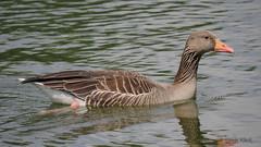Gans / Goose (Oerliuschi) Tags: gans goose teich wasser tier leica 100400 panasonic lumixgx8 nahaufnahme tele