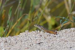 Algerian Sand Lizard (Psammodromus algirus) (Brian Carruthers-Dublin-Eire) Tags: animalia chordata vertebrata reptilia squamata sauria scincomorpha lacertidae gallotiinae psammodromus p algirus lizard psammodromusalgirus algerian sand algeriansandlizard