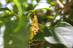 Grasshopper Exploring (.Danny.B [Nature Photography]) Tags: grasshopper nature plant green leaf yellow exploring explore discover sunny summer daylight cannon t5i eos rebal create capture cute insect animal