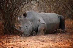Sleepy rhino (crafty1tutu (Ann)) Tags: africa travel holiday animal southafrica rhinoceros krugernationalpark 2014 naturethroughthelens crafty1tutu naturescarousel
