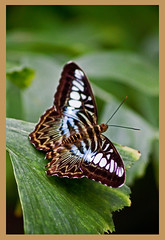 AH62_8012 (der_andyrandy) Tags: schmetterling butterfly tiere canoneos7d thisphotorocks insekt amazingamazing