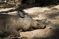 enjoy the sun (d.kaehlke) Tags: wild sun animal canon germany bavaria eos pig sleep wildlife rest tamron boar 750d
