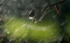 Theridiidae (dustaway) Tags: tullerapark tullera northernrivers nsw nature australia spiderweb theridiidae australianspiders