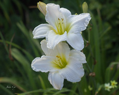 """Joan"" (just joani) Tags: white perennial plant daylily garden blossom bloom"