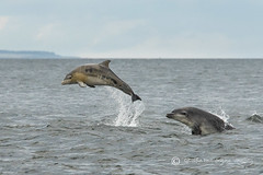 Dolphin Chase (cjdolfin) Tags: summer nature mammal grey scotland marine alba dolphin wildlife scottish highland splash calf marinemammal blackisle morayfirth cetacean bottlenosedolphin tursiopstruncatus fortrose rossshire chanonrypoint cjdolfin odontocete