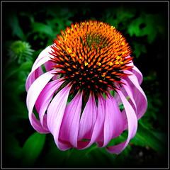 Natural Wonder (dimaruss34) Tags: newyork flower brooklyn image dmitriyfomenko