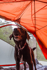 Camping at Fort Ridgely State Park - Cortana (Tony Webster) Tags: statepark camping dog minnesota puppy tent blanket marmot campsite cortana fortridgelystatepark rumpl marmottungsten3p rumplblanket tungsten3p