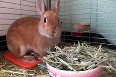 Ichigo san 239 ICHIGO san  (mensore) Tags: family pet brown cute rabbit bunny dwarf netherland ichigo   netherlanddwarf