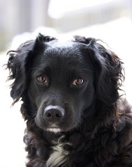 Black Dog Portrait (C-V-W) Tags: markies cute dog black white eyes dogs
