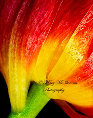 Rear End (Mary McIlvenna Photography) Tags: flower flora floralart rearview orange gold parrot tulip parrottulip