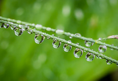 Leaf Drop's. (Omygodtom) Tags: waterdrops green macro macromonday refraction reflections abstract art outdoors tamron selectivefocus natural nikon d7100 grass flickr flower