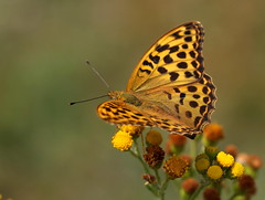 """Argynnis paphia"" - keizersmantel ( female ) (bugman11) Tags: butterfly butterflies bug bugs fauna insect insects keizersmantel animal animals argynnispaphia canon 100mm28lmacro nature macro nederland thenetherlands flower flowers flora yellow thegalaxy"