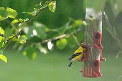 Yellow finch (timbo on the hill) Tags: nikond7000 summer story indiana remedyranch yellowfinch bird usa 2016