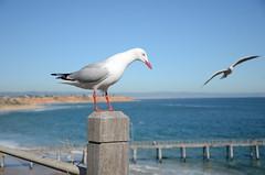 DSC_5372 silver gull, Chroicocephalus novaehollandiae, Port Noarlunga, South Australia (johnjennings995) Tags: australia southaustralia water portnoarlunga silvergull chroicocephalusnovaehollandiae