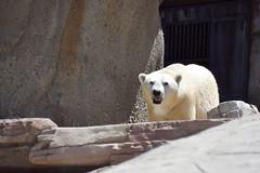 Polar Bear at the San Diego Zoo (GMLSKIS) Tags: sandiegozoo polarbear california nikond750