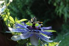 Passiflora 2 (EPGraphics) Tags: canon eos 70d flower blew garden vienna austria passiflora nature
