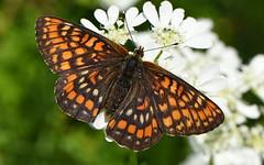 Scarce Fritillary (Euphydryas maturna). (festoon1) Tags: scarcefritillary euphydryasmaturna butterfly