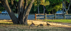 Geese and fence at sunset in the park - Happy Fence Friday (randyherring) Tags: ca trees california santaclaracountyparks vasonalakecountypark geese losgatos sunlight cars park canadagoose nature fence brantacanadensis unitedstates us