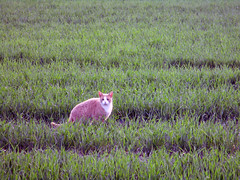(SofiDofi) Tags: cat orange cute outdoors field green evening summer june summer2016 animal