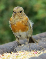 LOOKING THE PART (d p hughes) Tags: robin birds nature wildlife outdoor summer countryside depthoffield wheelock cheshire england