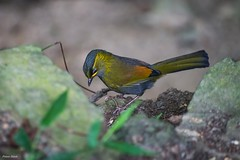 () - Taiwan Liocichla (Steere's liocichla) - Dasyueshan National Forest Recreation Area - Taichung (prince470701) Tags:   taiwanliocichla steeresliocichla  dasyueshannationalforestrecreationarea sonya99 sigma70300mm  taichungcity taiwan