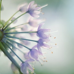 Wild Onion (Caroline.32) Tags: nikond3200 niftyfifty extensiontube20mm happyslidersunday slidersunday wildonion allium his