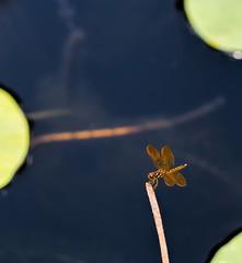 Baby DragonFly (4 Pete Seek) Tags: atlantageorgia botanicalgardens atlantabotanicalgardens insect dragonfly pond lilypond