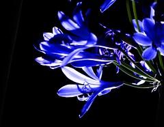 Experiment.... (isajachevalier) Tags: agapanthus blte blume pflanze licht garten natur panasonicdmcfz150