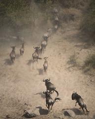 We made it !! (Sue MacCallum-Stewart) Tags: kenya africa maasaimara wilderbeest migration nature wildlife