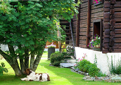 Vie de chien (myvalleylil1) Tags: france alpes montagne mountain hautesavoie chamonix