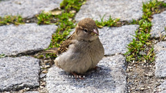 Ein flauschiges Spatzerl | A fluffy sparrow :) (carsten.c.h.k.) Tags: light bird nature germany furry sam sony magic natur fluffy moment alpha freiburg sal dt available 6000 vogel spatz ilce f3556 18135mm mirrorless laea4